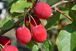 Dolgo Apple (Malus 'Dolgo') at Make It Green Garden Centre