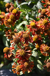 Ruby Tuesday Sneezeweed (Helenium 'Ruby Tuesday') at Make It Green Garden Centre