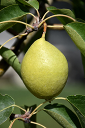 Early Gold Pear (Pyrus ussuriensis 'Early Gold') at Make It Green Garden Centre
