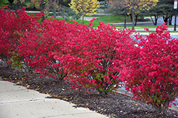 Fire Ball® Burning Bush (Euonymus alatus 'Select') at Make It Green Garden Centre
