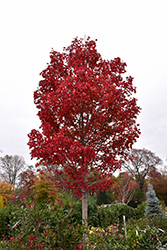 October Glory Red Maple (Acer rubrum 'October Glory') at Make It Green Garden Centre