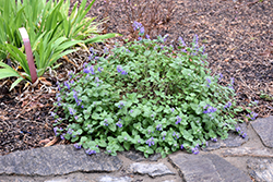 Early Bird Catmint (Nepeta 'Early Bird') at Make It Green Garden Centre