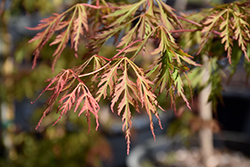 Ice Dragon™ Maple (Acer 'IsliD') at Make It Green Garden Centre