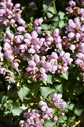 Pink Pewter Spotted Dead Nettle (Lamium maculatum 'Pink Pewter') at Make It Green Garden Centre