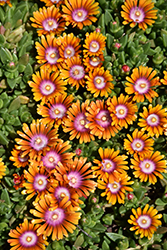 Fire Spinner Ice Plant (Delosperma 'Fire Spinner') at Make It Green Garden Centre