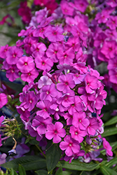 Purple Flame Garden Phlox (Phlox paniculata 'Purple Flame') at Make It Green Garden Centre