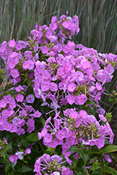 Fashionably Early Flamingo Garden Phlox (Phlox 'Fashionably Early Flamingo') at Make It Green Garden Centre