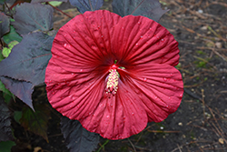 Summerific® Holy Grail Hibiscus (Hibiscus 'Holy Grail') at Make It Green Garden Centre