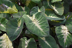Royal Hawaiian® Tropical Storm Elephant Ear (Colocasia esculenta 'Tropical Storm') at Make It Green Garden Centre