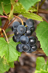 Beta Grape (Vitis 'Beta') at Make It Green Garden Centre