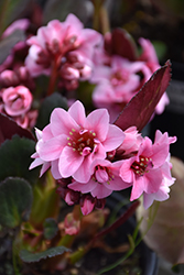 Dragonfly™ Sakura Bergenia (Bergenia 'Sakura') at Make It Green Garden Centre