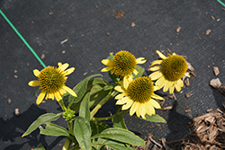 Kismet® Yellow Coneflower (Echinacea 'TNECHKY') at Make It Green Garden Centre